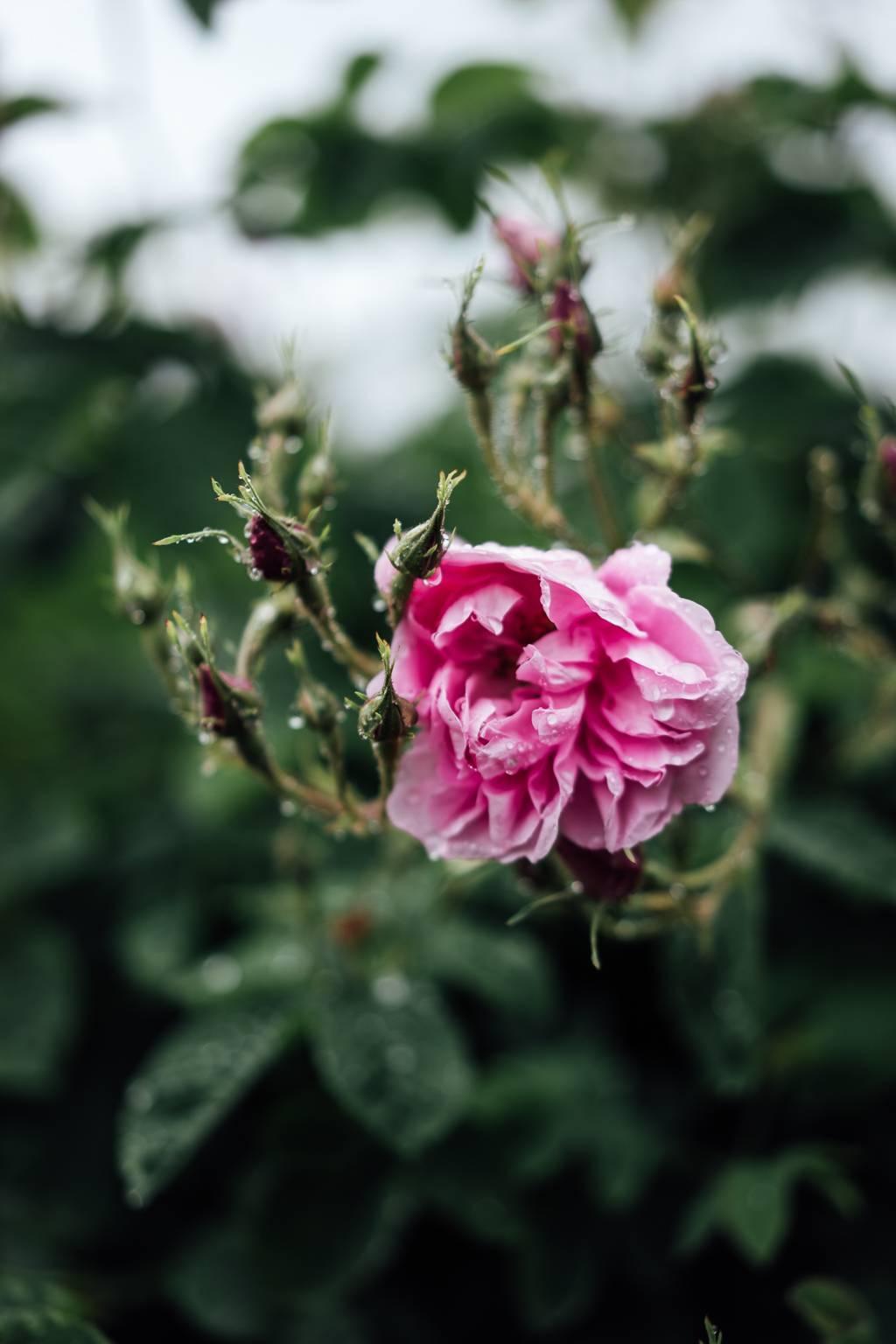 Rose 31